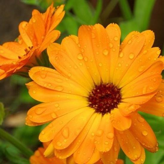 Calendule bio (fleurs)