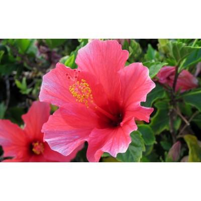 Hibiscus bio (fleurs)