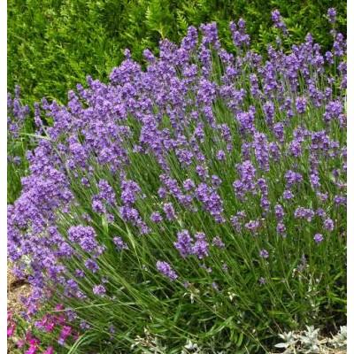 Lavande bio (fleurs)