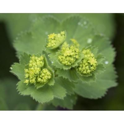 Alchemille (feuilles)