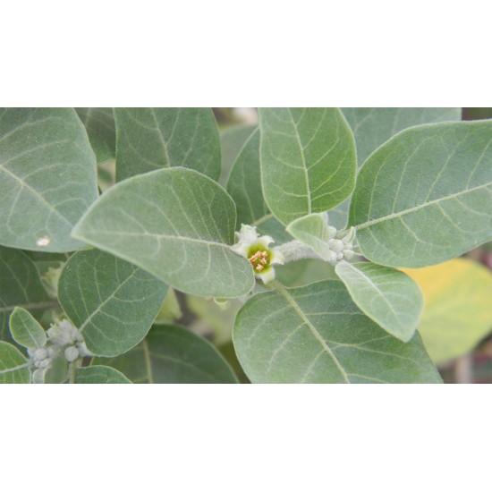 Ashwagandha bio (racines)