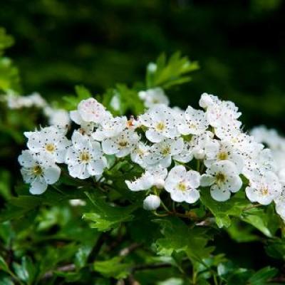 Aubépine bio (fleurs et feuilles)