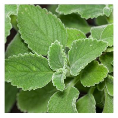 Boldo bio (feuilles)