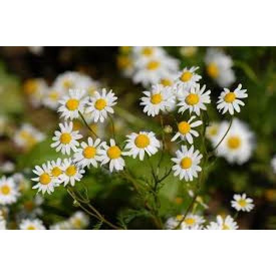 Camomille Allemande bio (fleurs)