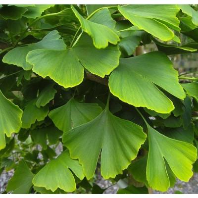 Ginkgo biloba bio (feuilles)