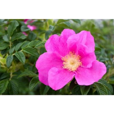 Rose bio (pétales)